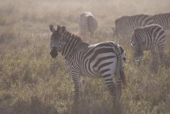 zebra- safari- knapp- picture- bomaafrica.jpg