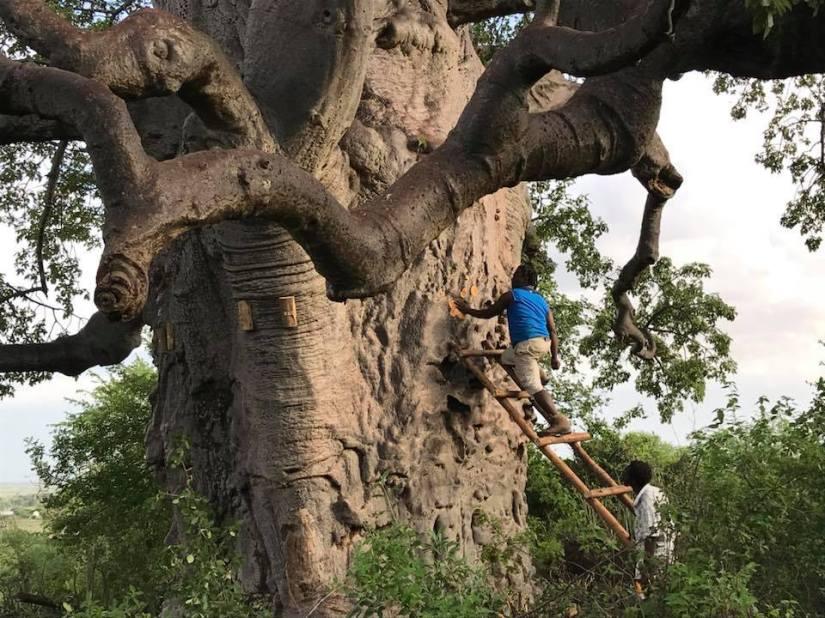lau baobab- picture-tanzip